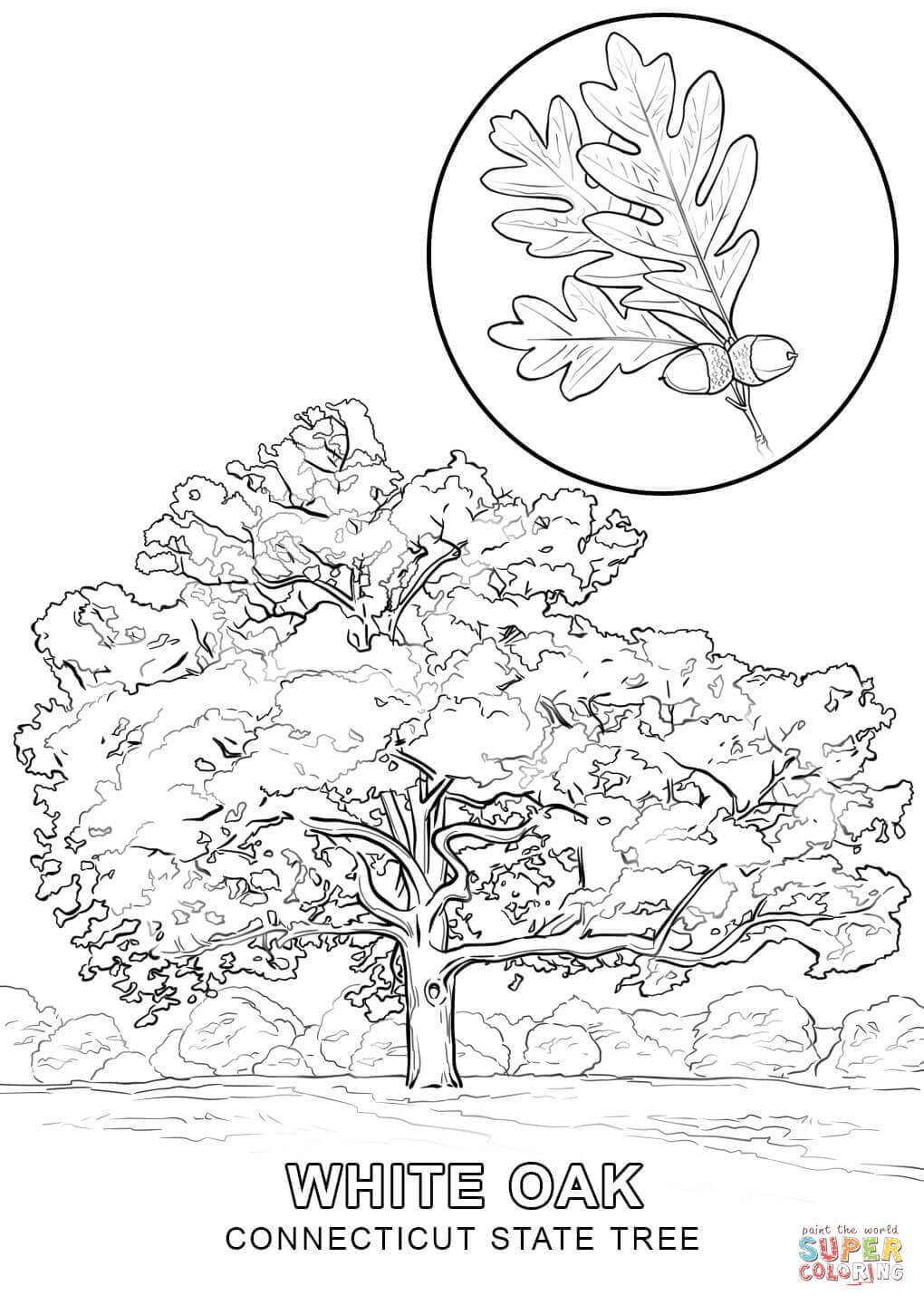 Connecticut State Tree Coloring Page Free Printable Coloring Pages