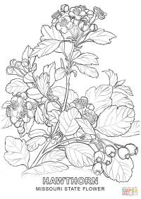 Missouri State Flower coloring page | Free Printable ...