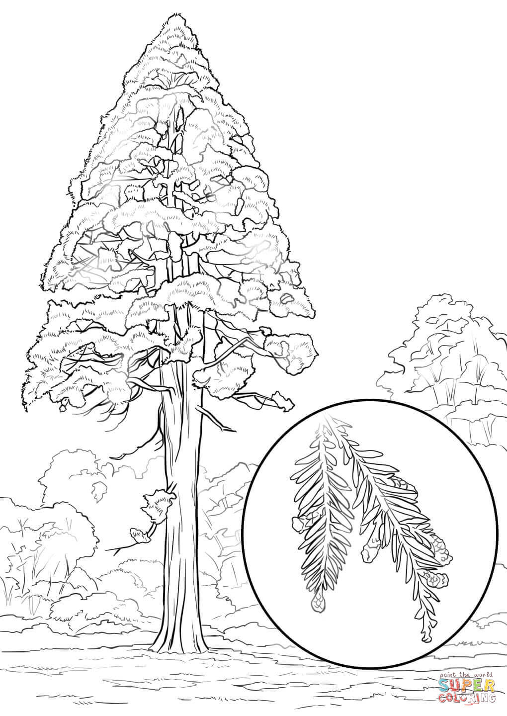 California Redwood (Sequoia Sempervirens) coloring page