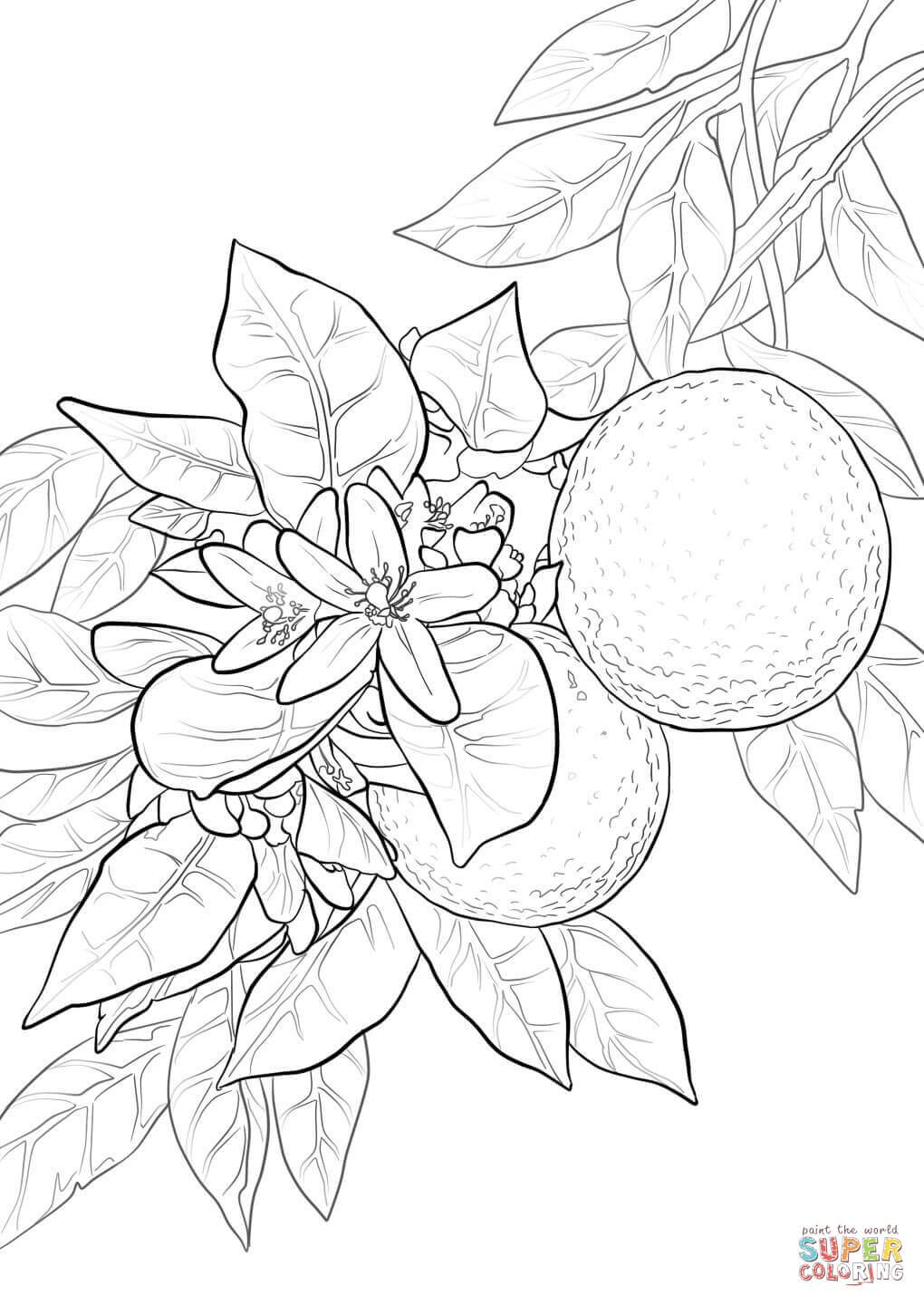 Related Keywords & Suggestions for orange blossom drawing