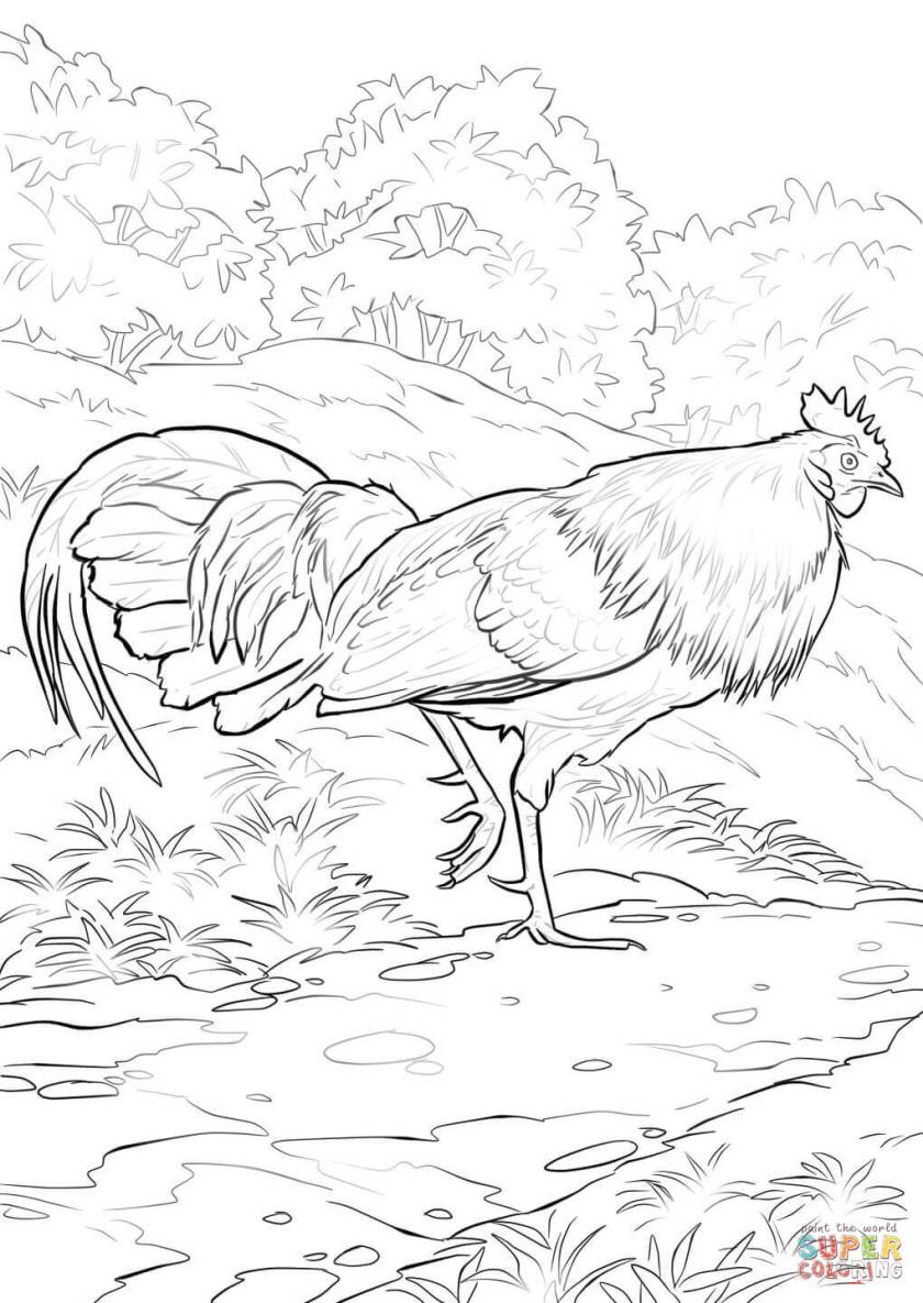red junglefowl rooster coloring page  free printable