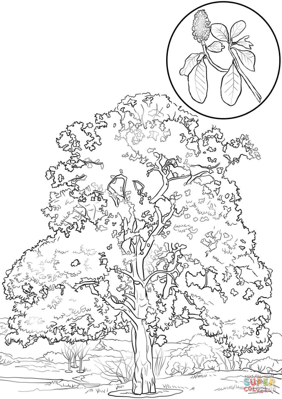 Disegno di Magnolia sempreverde da colorare Disegni da