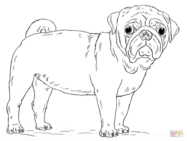 Cute Pug Dog coloring page  Free Printable Coloring Pages