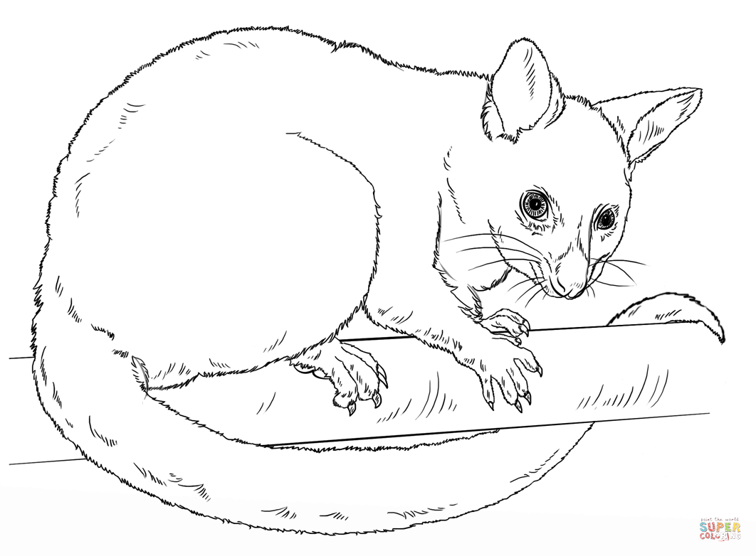 Common Brushtail Possum Coloring Page