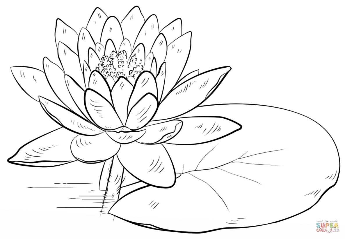 diagram of water lily leaf