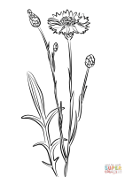 Cornflower, Blue Bottle coloring page   Free Printable ...