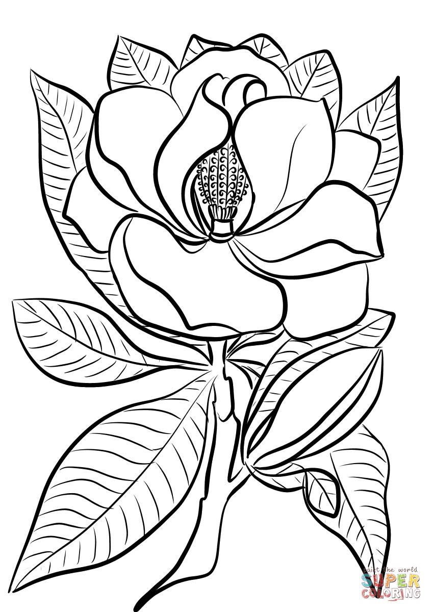 Magnolia tegninger