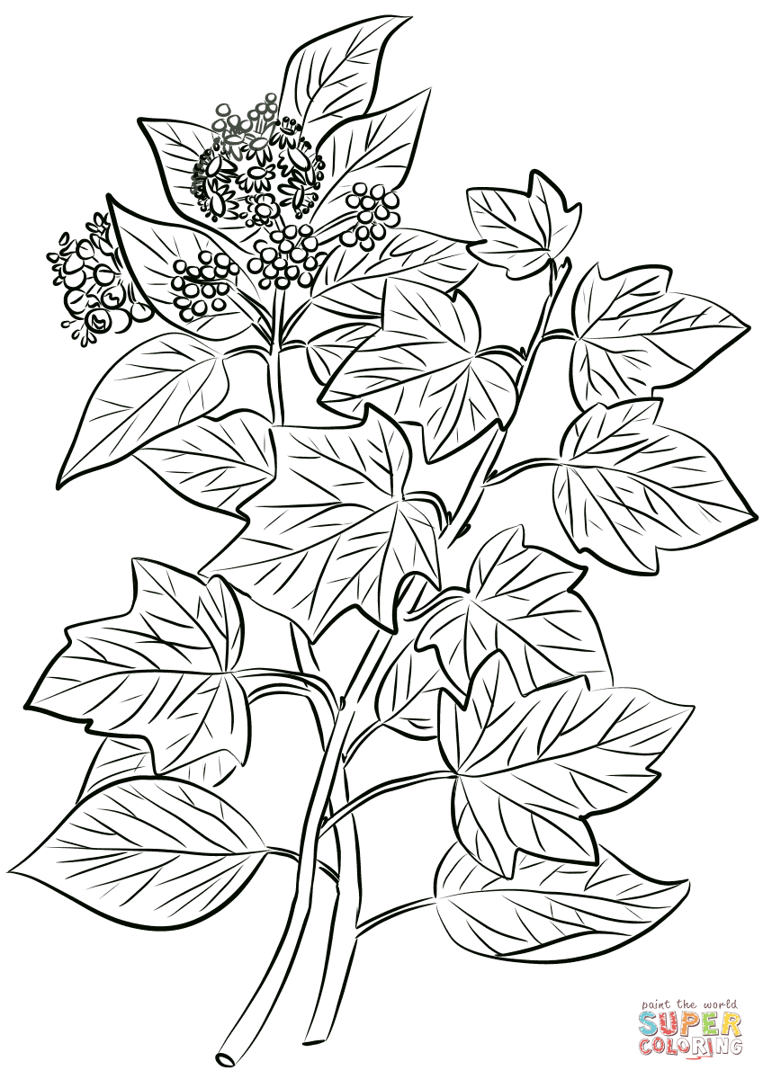 Common Ivy Hedera Helix Coloring Page Free Printable