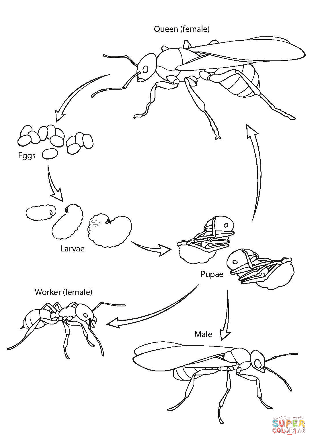 Ant Life Cycle Coloring Page