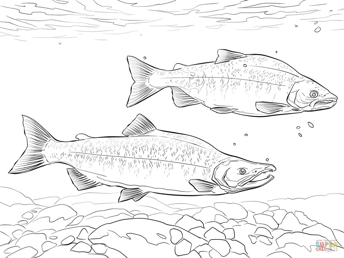 Kokanee Salmon Coloring Page