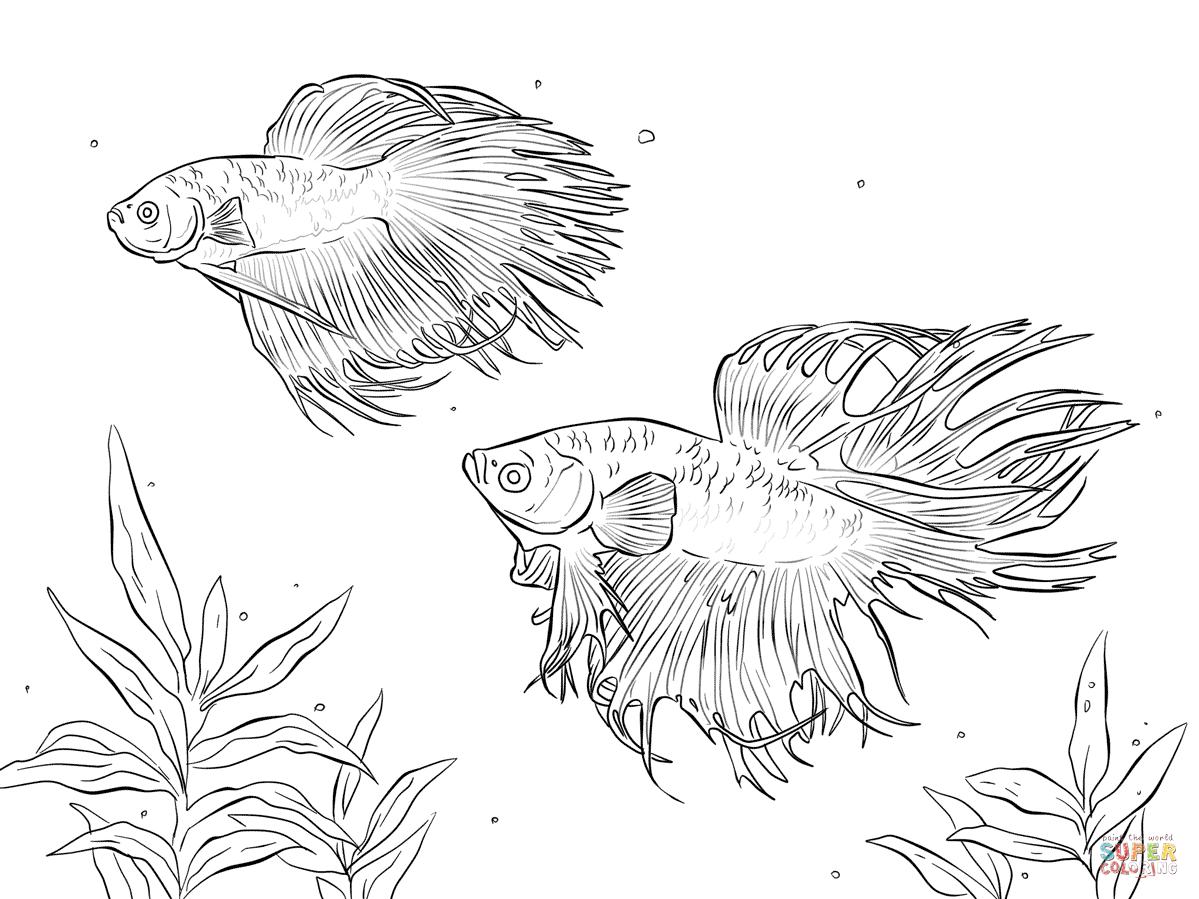 Disegno di Due pesci siamesi combattenti da colorare