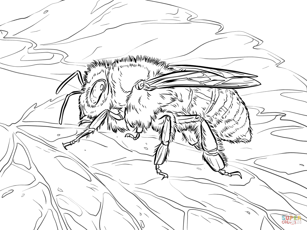 Western Honey Bee Coloring Page