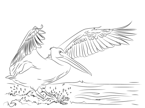 American White Pelican Landing Coloring Page Free