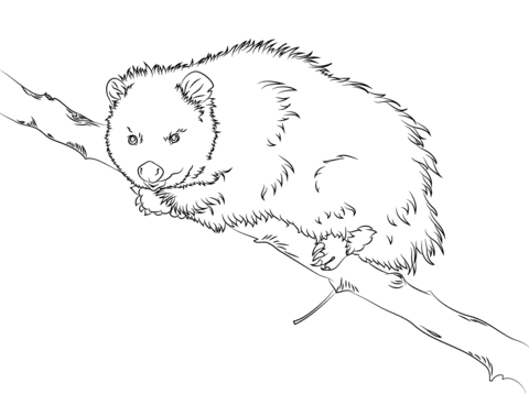 Virginia Opossum Sits On A Tree Coloring Page Free