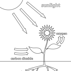 Simple Diagram Of Meiosis 1996 Chevy Truck Stereo Wiring Photosynthesis Coloring Page | Free Printable Pages