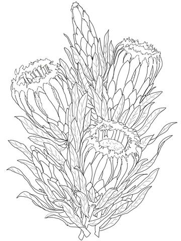 Protea Neriifolia or Oleanderleaf Protea coloring page