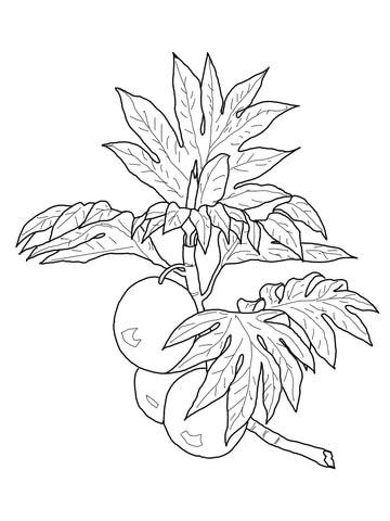 Disegno di Ramo con frutto dell'albero del pane da