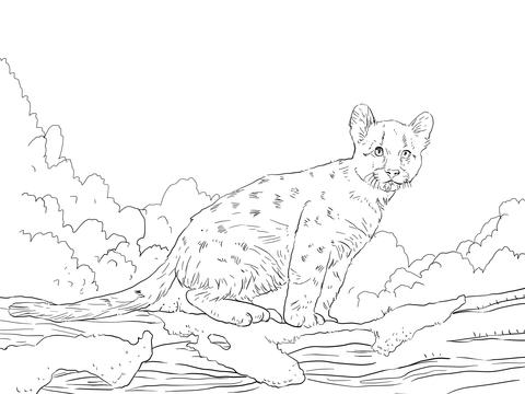 Dibujo de Cría de Puma para colorear Dibujos para