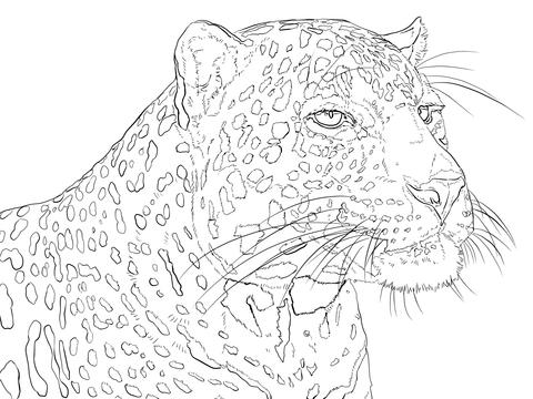 Dibujo de Retrato de un Leopardo Indio para colorear