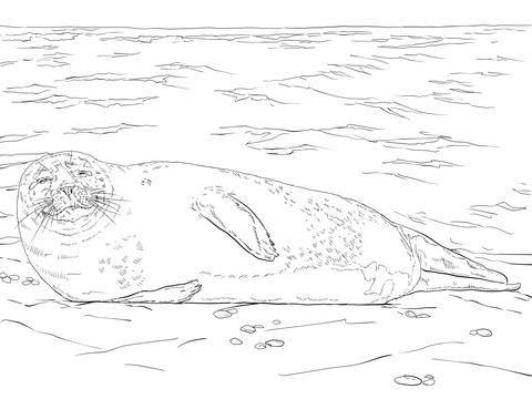 Ausmalbild Seehund Liegt Am Strand Ausmalbilder