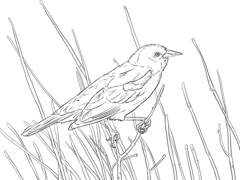 Red Winged Blackbird Perched on a Branch coloring page