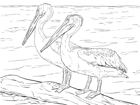 American White Pelicans Coloring Page Free Printable