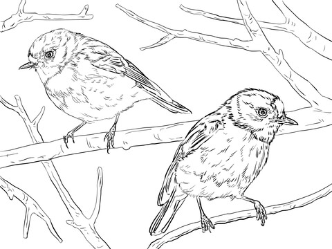 Australian Scarlet Robins Coloring Page