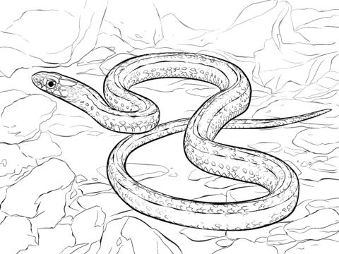 Desenho de Cobra Garter das planicies para colorir