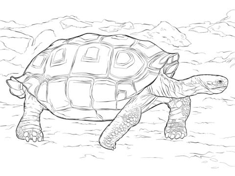 Ausmalbild: Realistische Galápagos-Riesenschildkröte