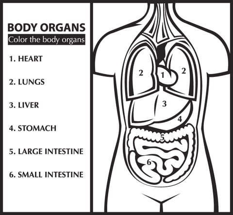 Ausmalbild: Male die Körperorgane aus (Englisch lernen