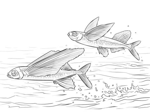 Sailfin Flying Fish And Common Atlantic Flying Fish