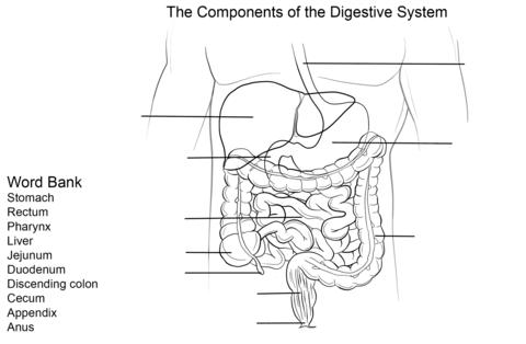 Dibujo de Ejercicio: Sistema Digestivo para colorear