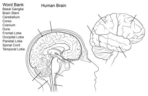 Ausmalbild: Arbeitsblatt, Das menschliche Gehirn