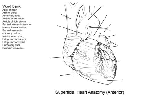 Dibujo de Ejercicio: Corazón Humano para colorear