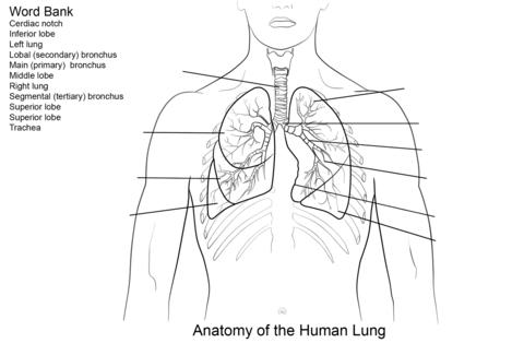Dibujo de Ejercicio: Pulmones Humanos para colorear