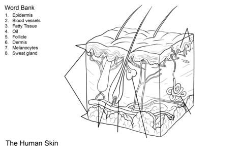 Dibujo de Ejercicio: Anatomía de la piel humana para