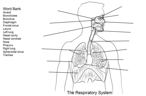 Dibujo de Ejercicio: Sistema Respiratorio para colorear