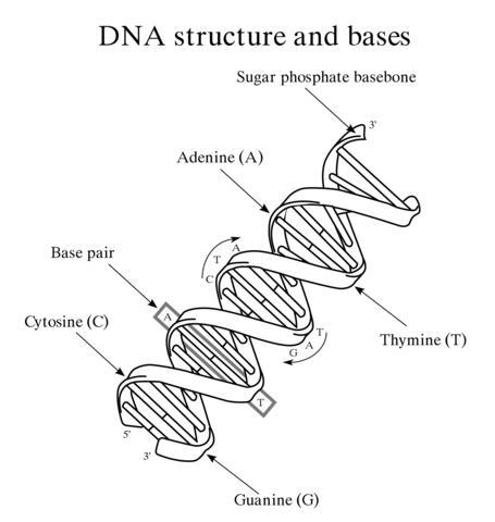 Dibujo de Estructura y Base del ADN para colorear