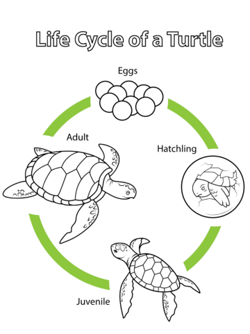bird life cycle diagram consumer unit wiring split load of a turtle coloring page | free printable pages