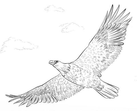 Ausmalbild Weisskopfseeadler im Flug Ausmalbilder