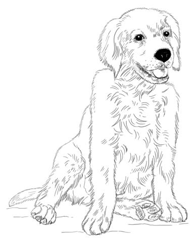 Dibujo de Cachorro de Golden retriever para colorear