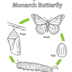 Diagram Of An Ant Life Cycle Worksheet Wiring Ignition Coil A Monarch Butterfly Coloring Page   Free Printable Pages