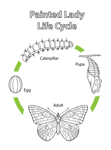 Life Cycle of a Painted Lady Butterfly coloring page