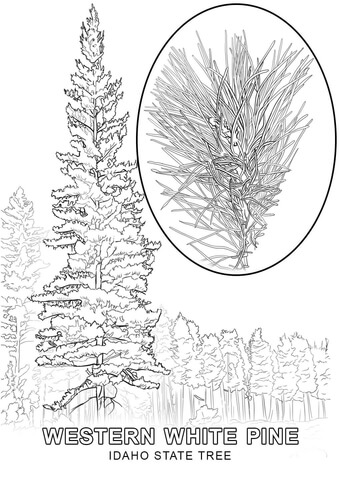 Florida State Tree Coloring Page Coloring Pages