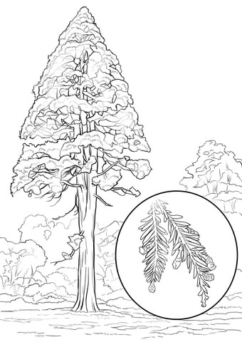 California Redwood Sequoia Sempervirens Coloring Page