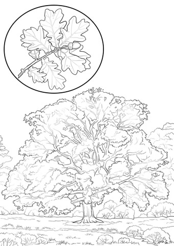 Northern Red Oak Coloring Page Free Printable Coloring Pages