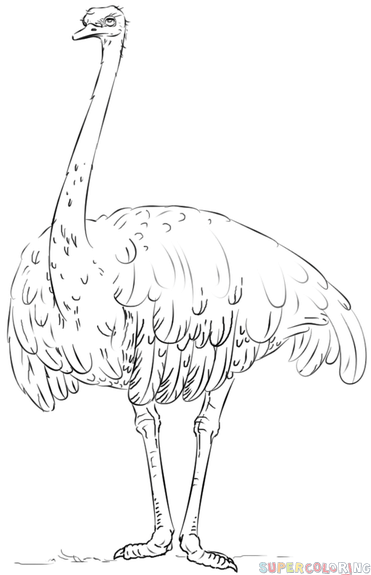 Ostrich Outline Drawing