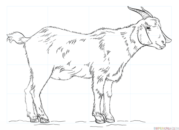 How to draw a Goat Step by step Drawing tutorials
