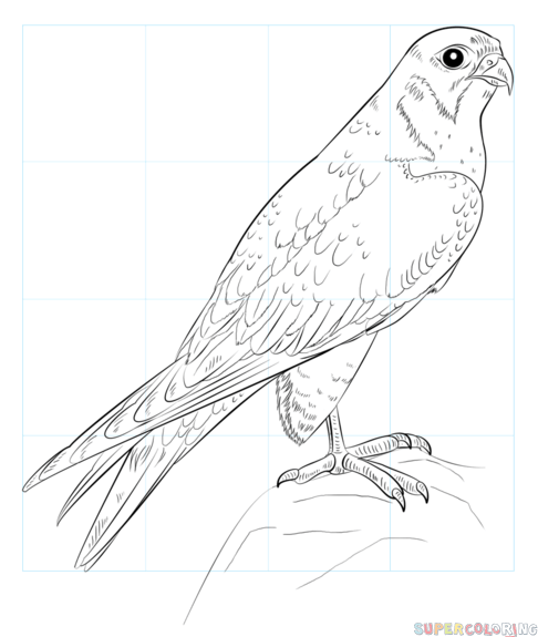 Drawing Miss Falcon Peregrine