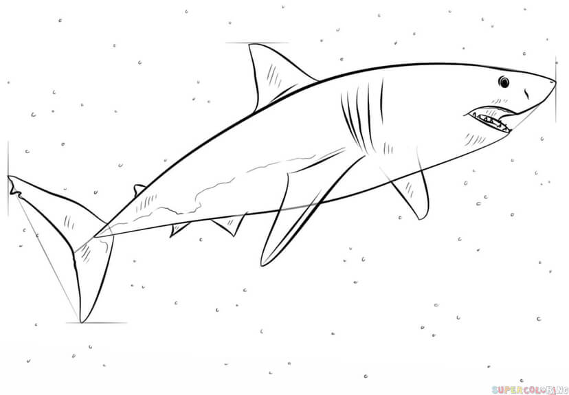 How To Draw A Great White Shark Step By Step Fish